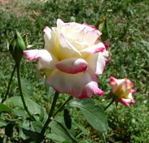 rose taif amouage